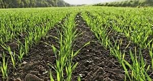 Действие гербицидов на полях.